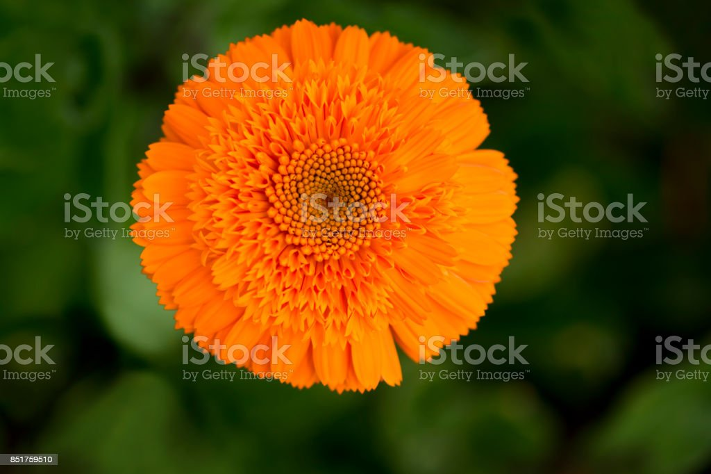Single Double Orange Calendula Officinalis stock photo