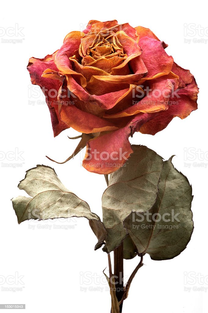 Single dry rose on a white background, isolated stock photo