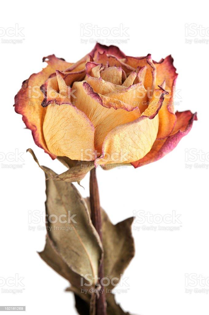 Single dry rose royalty-free stock photo