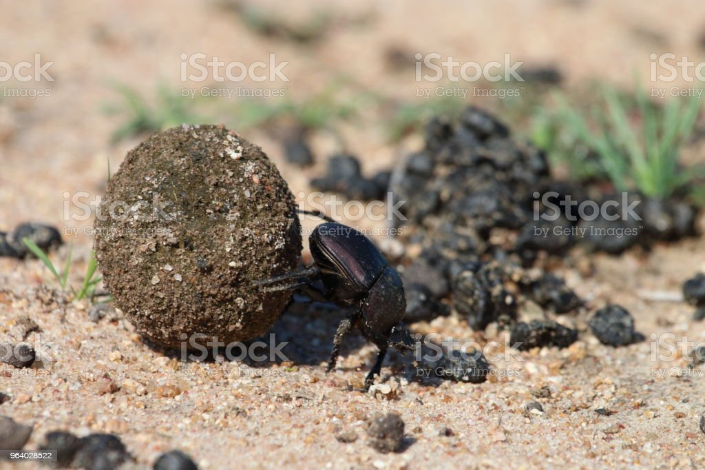 Single Dung Beetle Rolling a Ball of Dung - Royalty-free Africa Stock Photo