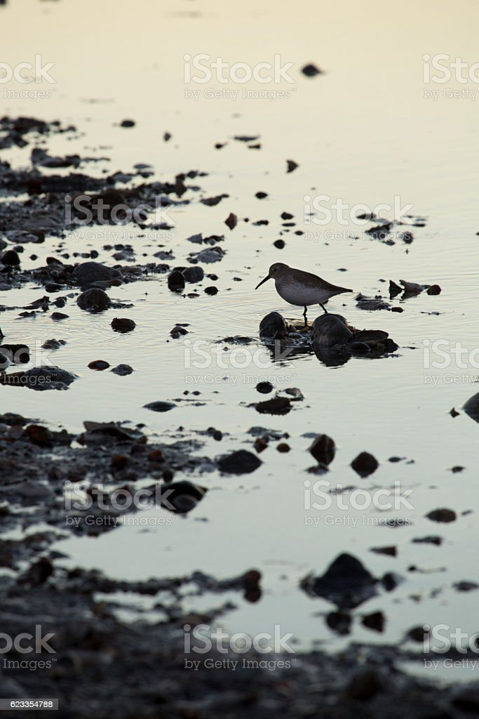 Single dunlin in a marsh at Milford Point, Connecticut. stock photo
