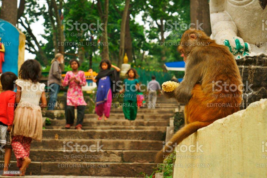 single eating monkey with corncob sitting at Swayambhunath temple Kathmandu stock photo