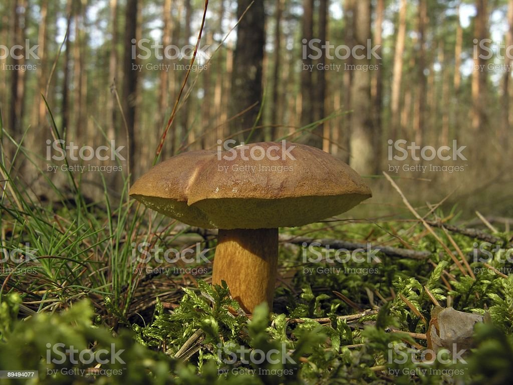 Single edible mushroom in forest royalty-free stock photo