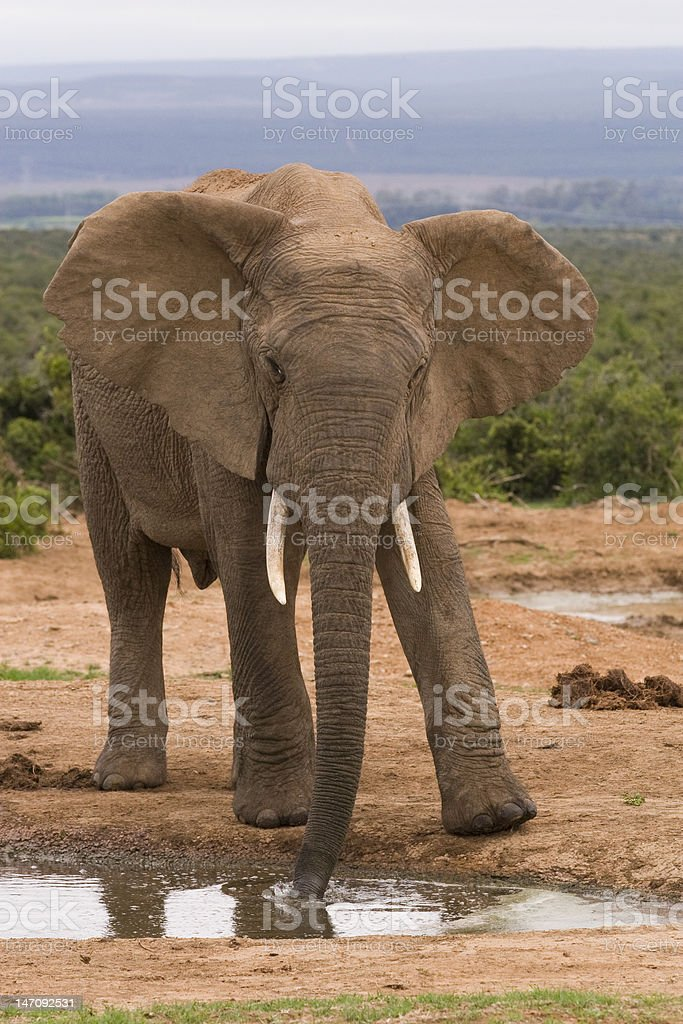 Single elephant at a water hole stock photo