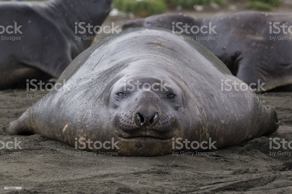A single elephant seal sits on the shore in South Georgia stock photo