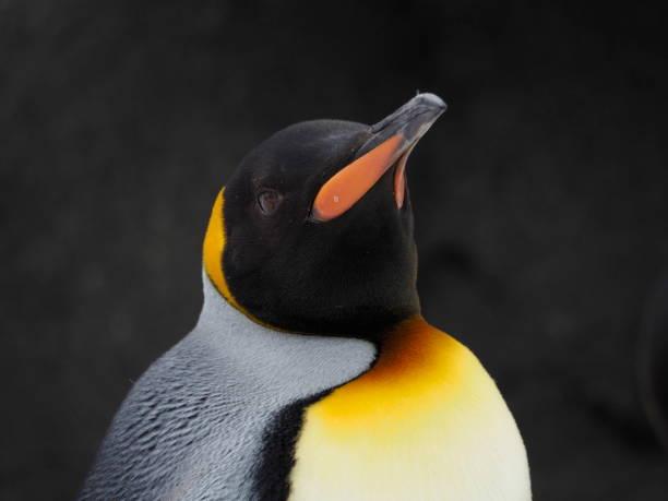 Single Emperor Penguin Head shot of a single emperor penguin emperor penguin stock pictures, royalty-free photos & images