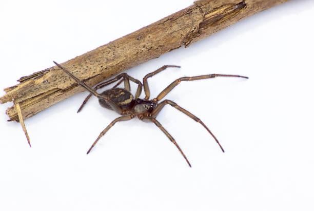 une seule fausse veuve araignée (mâle) - veuve photos et images de collection