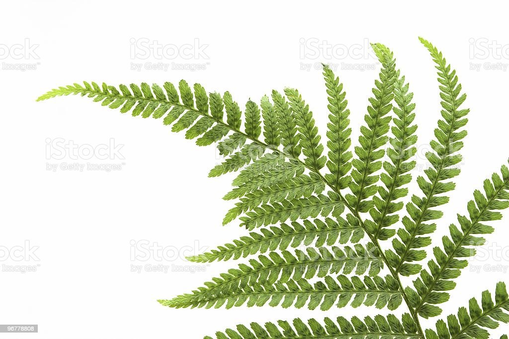 Single Fern Leaf royalty-free stock photo