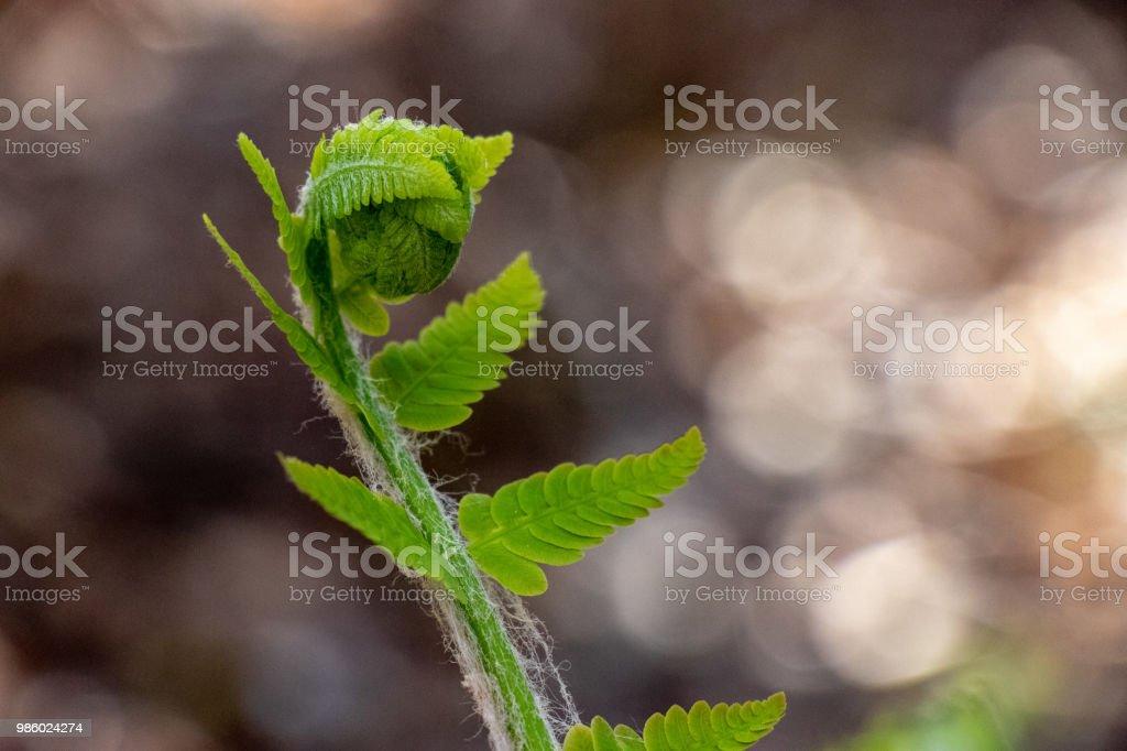 A single fern slowly unravels. stock photo