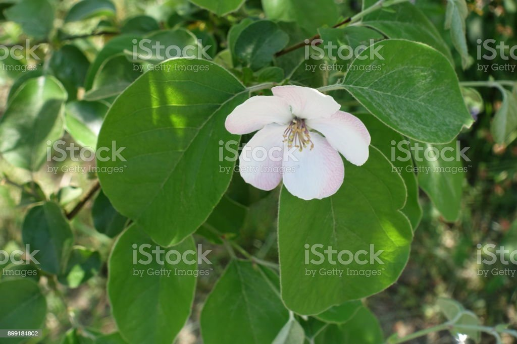 Single five petaled pinkish white quince flower stock photo