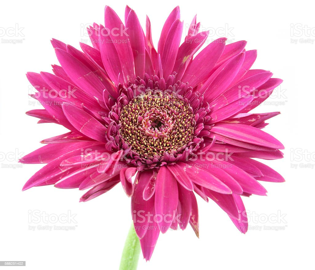 Single Flower Flower Pink Isolated On White Background Stock Photo