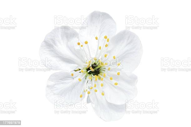 Single flower of cherry isolated on white background picture id177697979?b=1&k=6&m=177697979&s=612x612&h=xytut1zifechqkknjjhfnstrgpdyswm2bbknq21nszk=