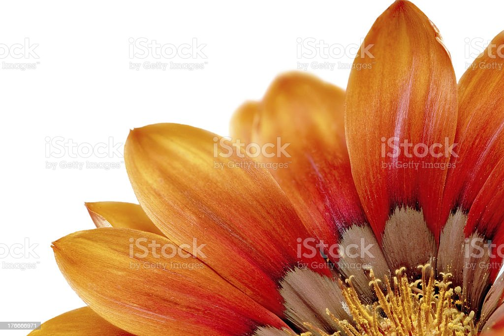 Single flower of Gazania. (Splendens genus asteraceae).Isolated royalty-free stock photo