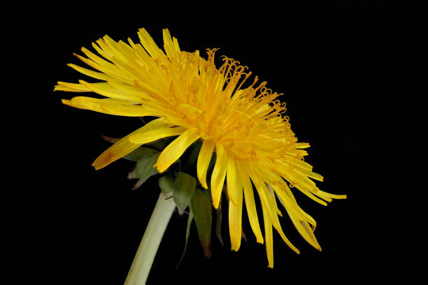 Single flower of the Ordinary Dandelion (Taraxacum sect. Ruderalia) stock photo