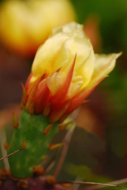una flor de cactus chumbera - opuntia robusta fotografías e imágenes de stock