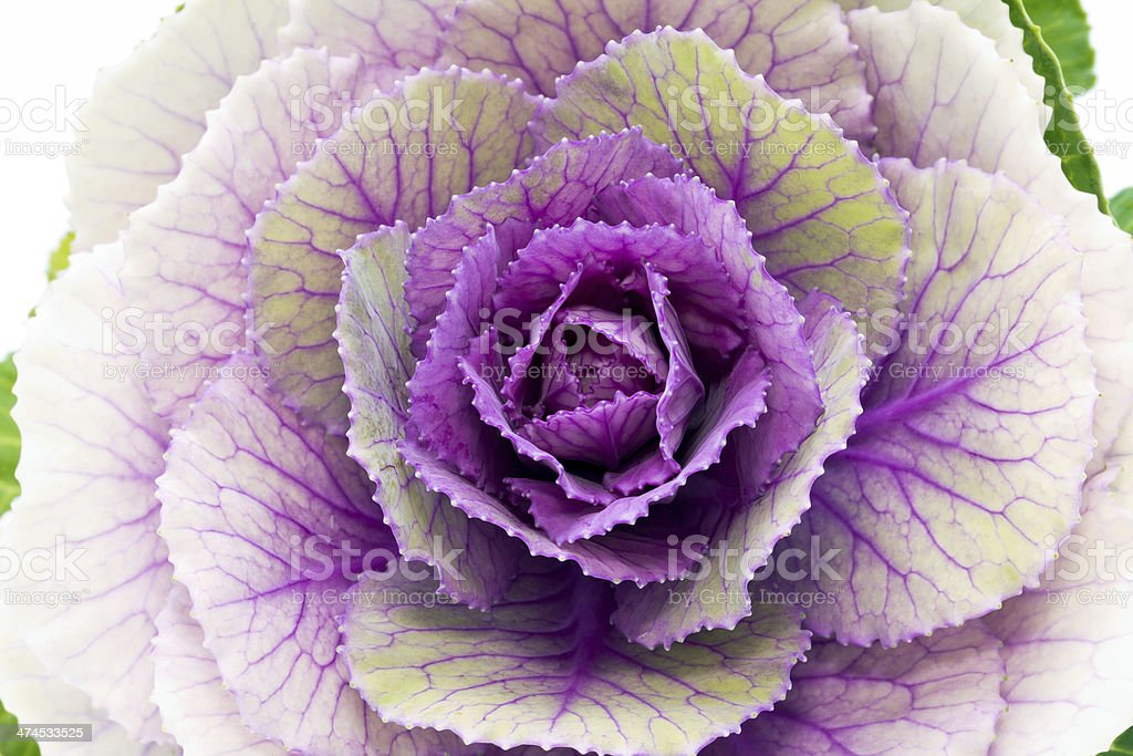 single flower of violet  brassica oleracea - close up stock photo