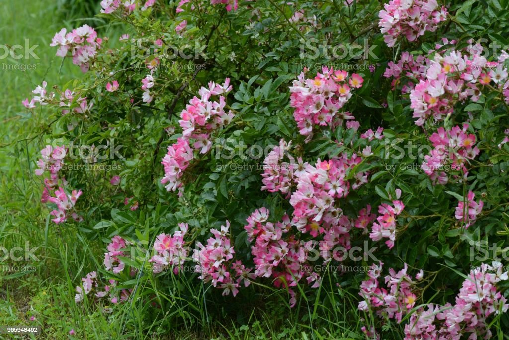 Single flowered Climbing roses - Royalty-free Beauty Stock Photo