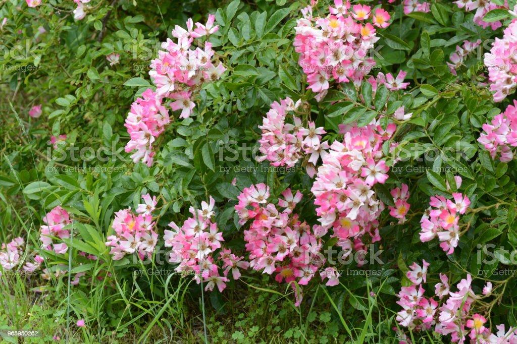 Single flowered Climbing roses - Royalty-free Beauty Stock Photo