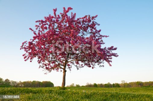 One beautiful flowering crab tree