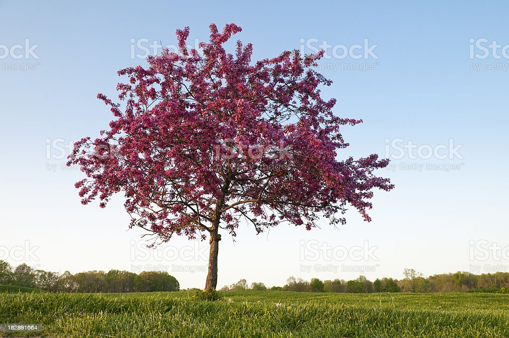 Single Flowering Crab Apple Tree stock photo