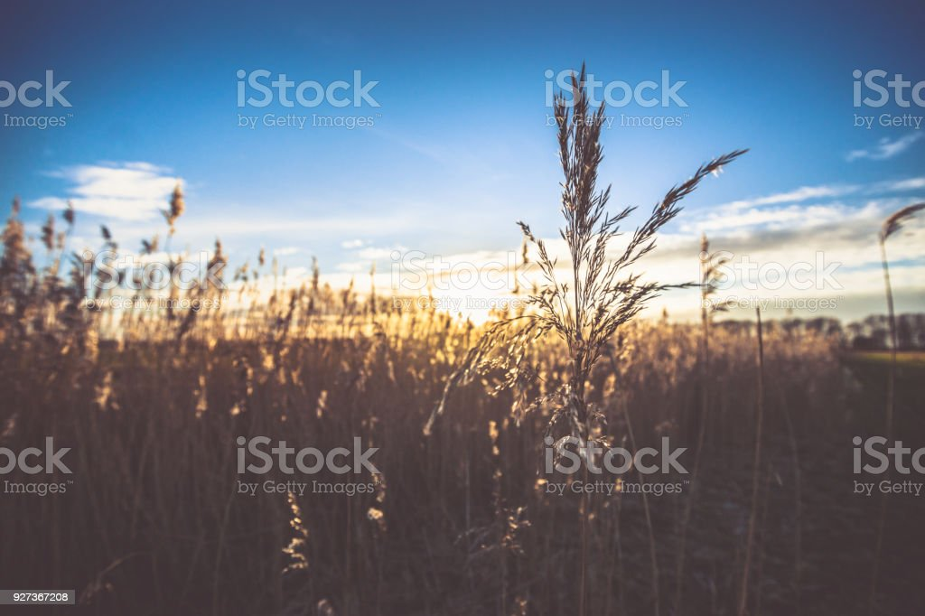 Single flowering reed grass plume, selective focus with sunny background Single flowering reed grass plume, selective focus with sunny background Agricultural Field Stock Photo