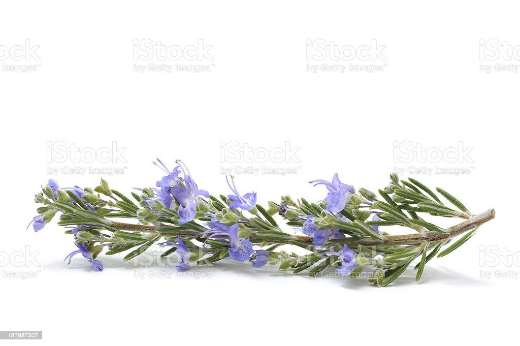 Single flowering Sprig of Fresh Rosemary royalty-free stock photo