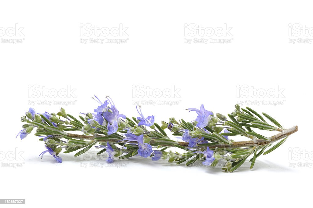 Single flowering Sprig of Fresh Rosemary stock photo