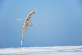 One dry fluffy reed plant by a blue sky and snowy ground