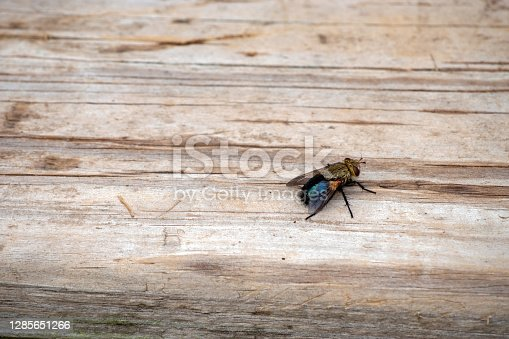 With a defocused effect, the eye is drawn to the pesky fly that rests on the wooden planks of a backyard deck in Missouri. Extermination might by applied through a flyswatter, pesticides or a professional exterminator.
