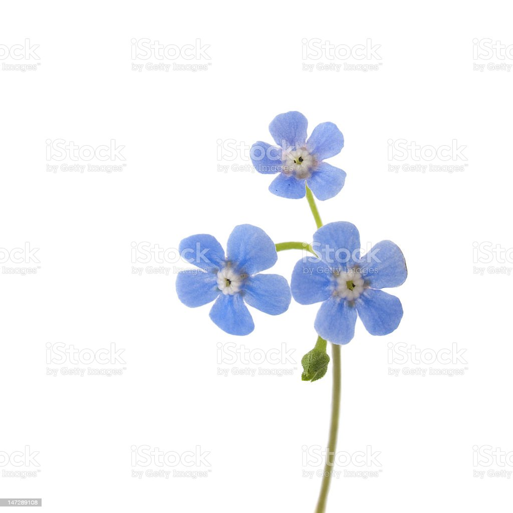 Royalty Free Forget Me Not Pictures Images And Stock Photos Istock
