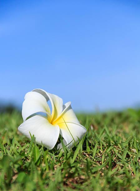 Ein frangipani plumeria Blüte mit Gras und blauem Hintergrund – Foto