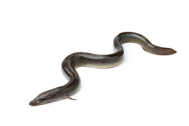 FRAIS Anguille européenne unique - Photo