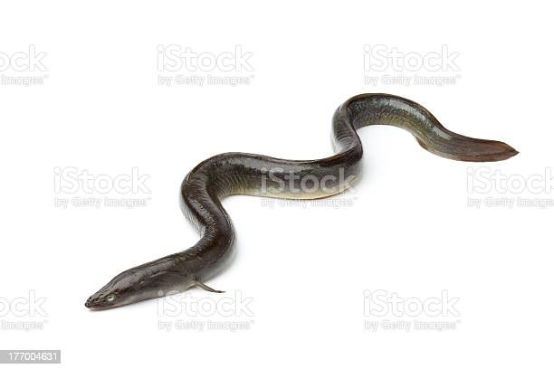 Eine Frische Europäische Aal Stockfoto und mehr Bilder von Einzelner Gegenstand