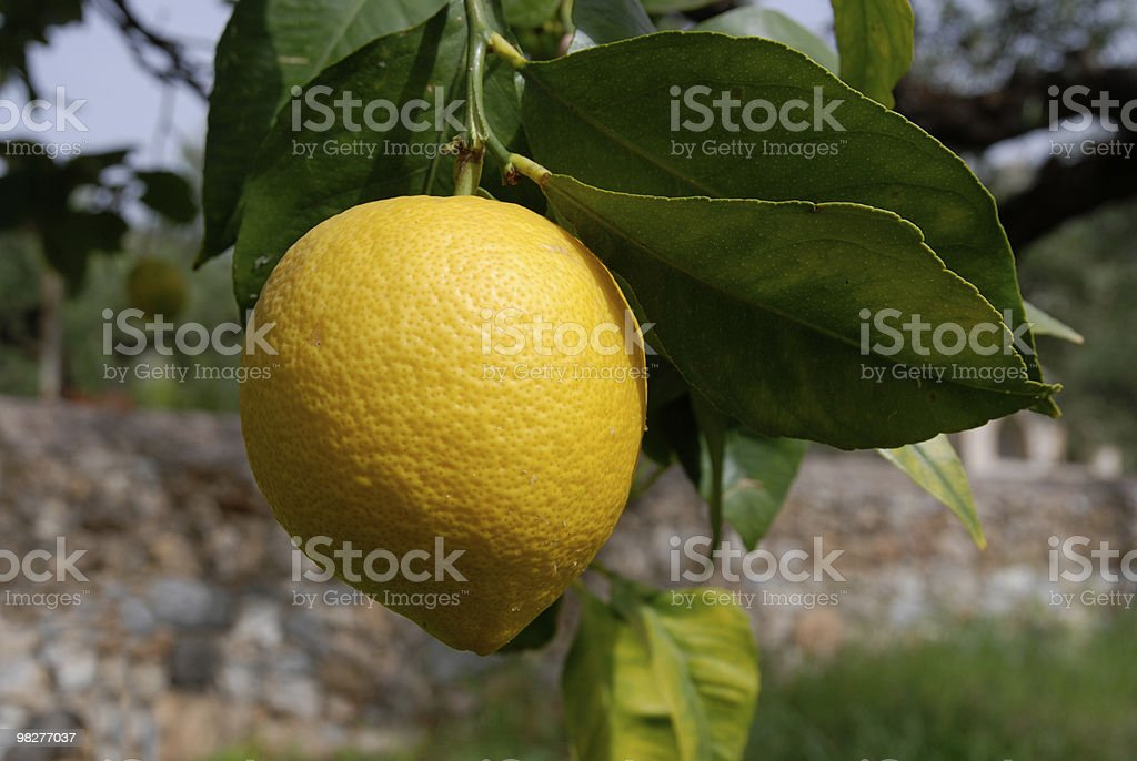 single fresh lemon growing on tree royalty-free stock photo