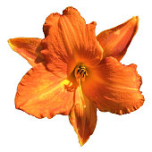 A single day lily flower blossom with orange petals viewed from directly above with sunlight, cut out on a white background.