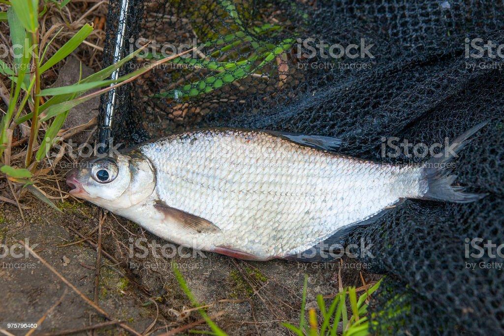 Einzelne Süßwasserfische White-eye Brassen auf schwarzem Fischernetz. - Lizenzfrei Aktivitäten und Sport Stock-Foto