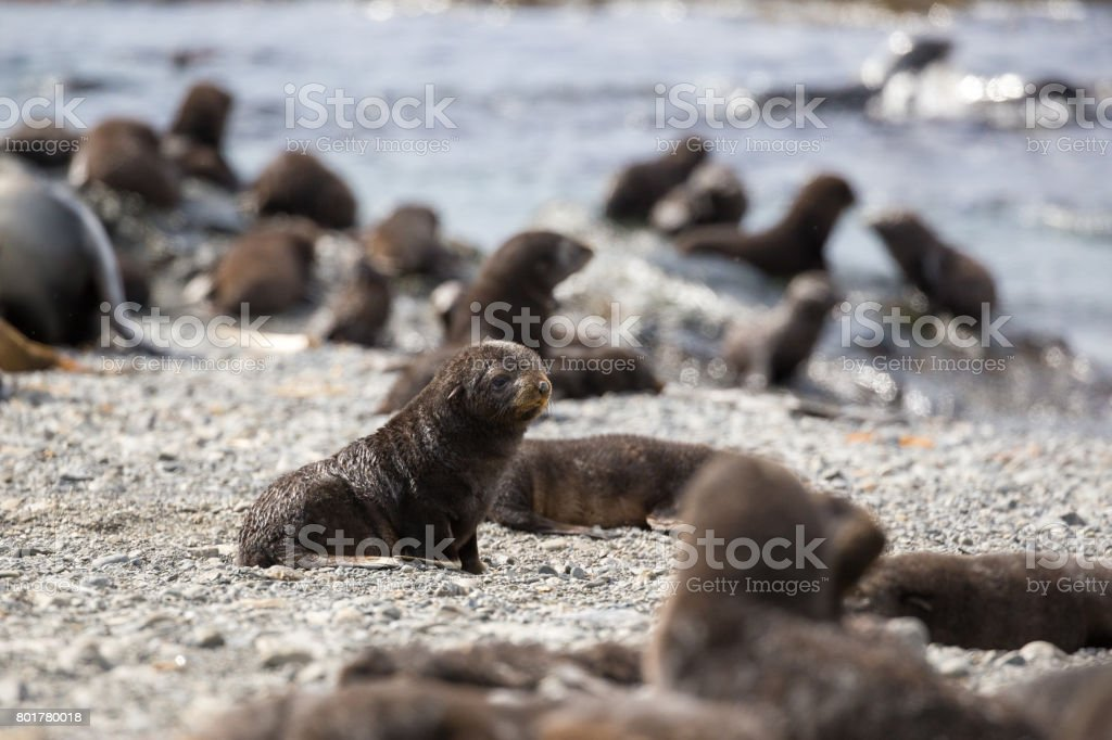 A single fur seal sits among a colony of babies on the shore in South Georgia stock photo