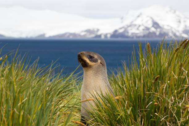 A single fur seal sits on the shore in South Georgia stock photo