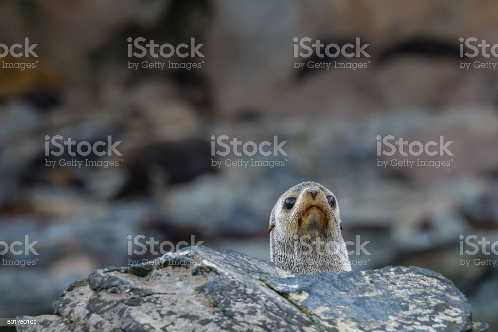 A single fur seal sits pokes his head above the rocks in South Georgia stock photo