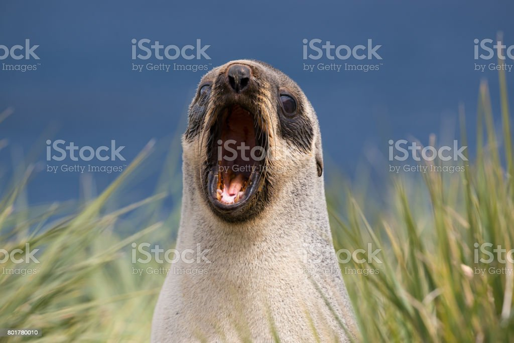 A single fur seal yawns on the shore in South Georgia stock photo