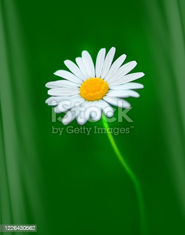 Single 'Giant' Daisy known as Shasta Daisies isolated against a vibrant spring green background.