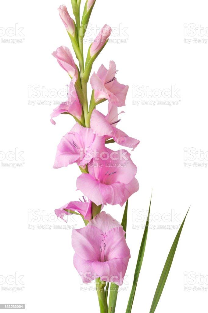 Single gladiolus flower isolated on white background stock photo single gladiolus flower isolated on white background royalty free stock photo mightylinksfo