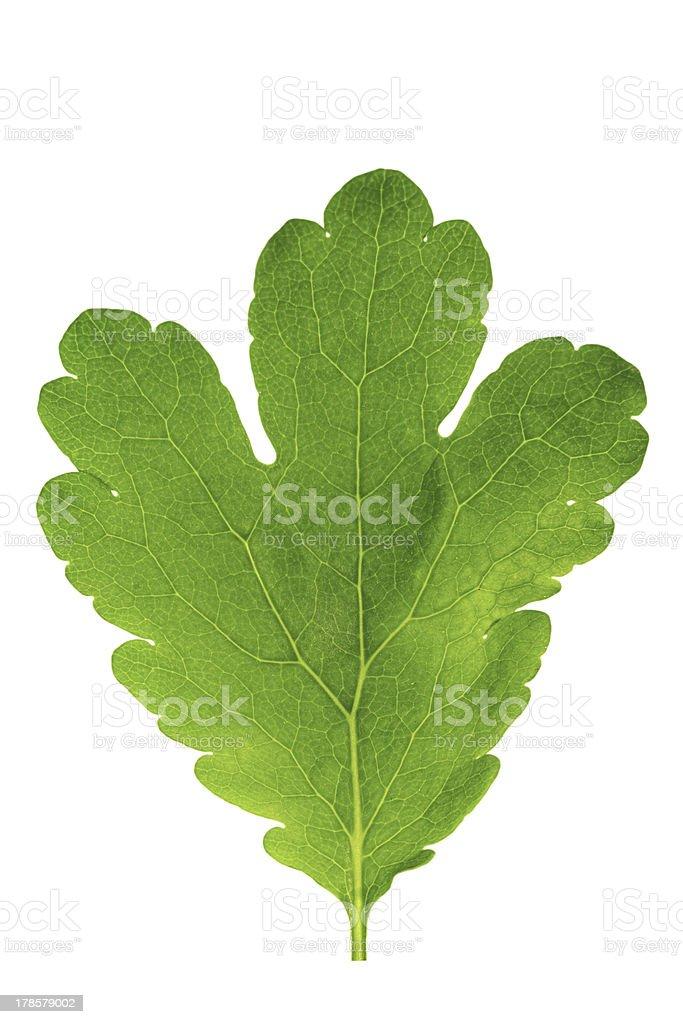 Single   green leaf isolated on white background . royalty-free stock photo
