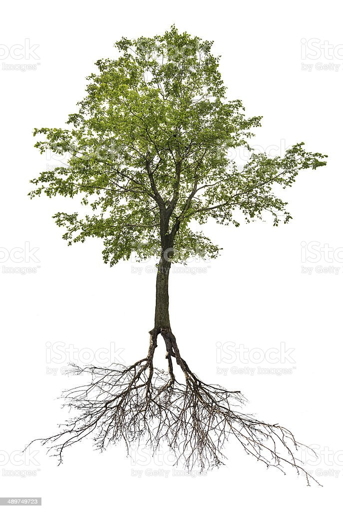 single green linden tree with root stock photo