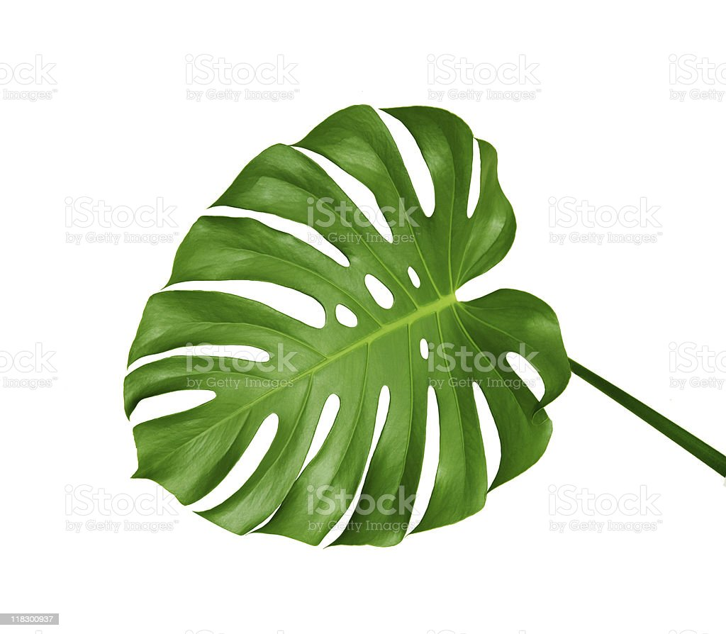 A single, green Monstera leaf on a white background stock photo