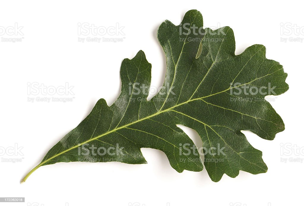 Single Green Oak Leaf, Natural Tree Growth Isolated on White royalty-free stock photo