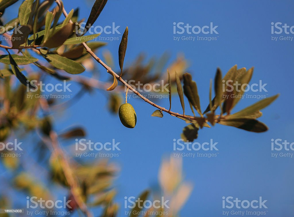 Single green olive on a tree royalty-free stock photo