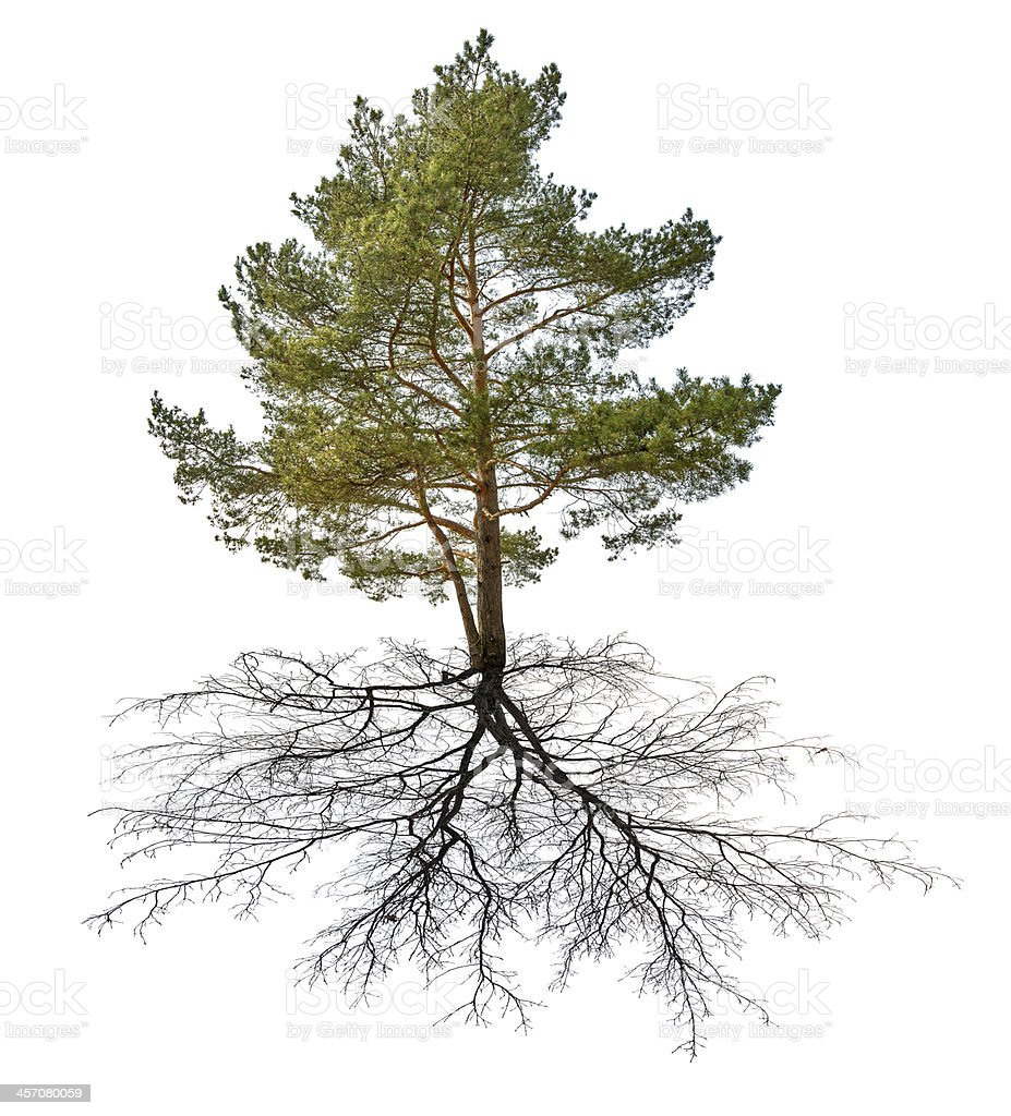 single green pine with black root stock photo