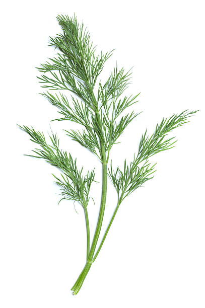 Single green sprig of dill plant One branch of dill with a central, thicker light green stem and two slender ones at the sides isolated on a white background.  At the top of each stem, there are numerous finely divided leaves. dill stock pictures, royalty-free photos & images