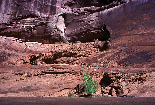 Single Green tree dwarfed by the Grand Canyon A single green tree growing at the base of the Grand Canyon, with a towering cliff face directly behind. hearkencreative stock pictures, royalty-free photos & images